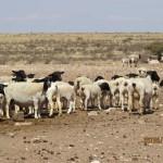 Ooie en lammers op droe veld sonder byvoeding